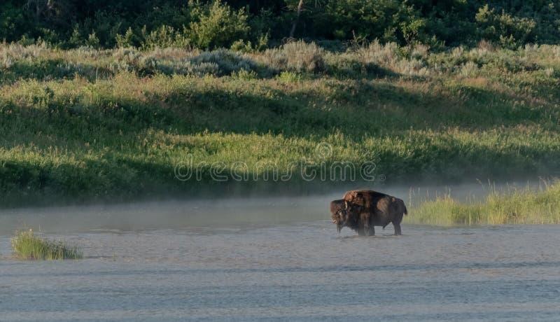 Bison And Fog em Little Missouri River imagens de stock