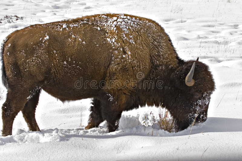 Bison foraging for food in snow royalty free stock image