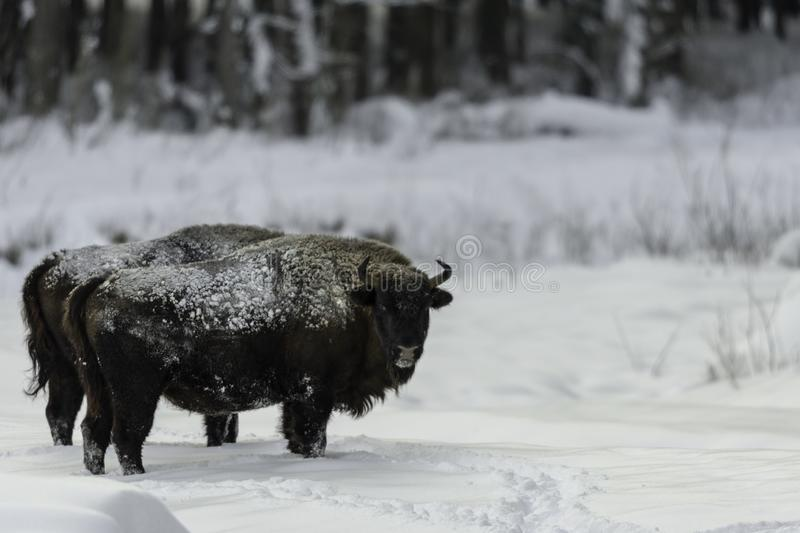 Bison in winter, with snow in the woods royalty free stock photos
