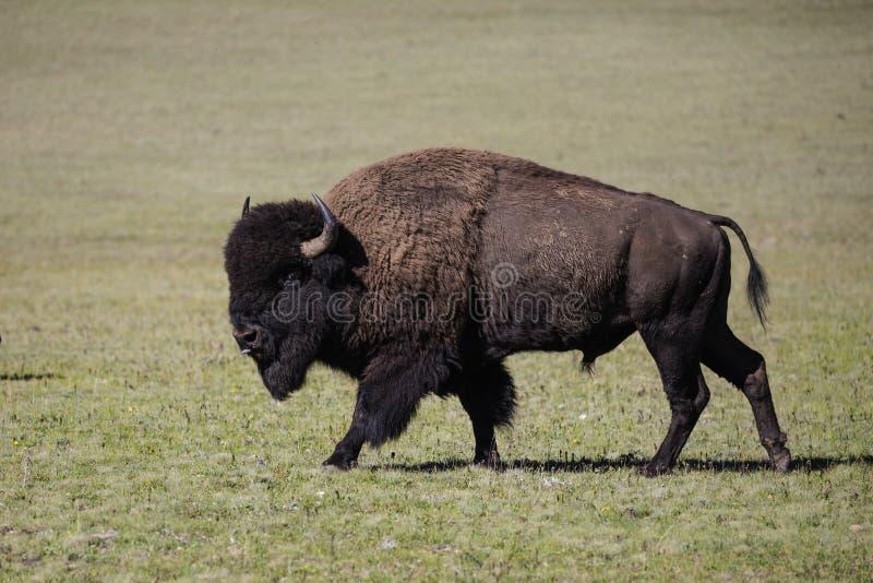 Bison Grand Canyon National Park fotografie stock