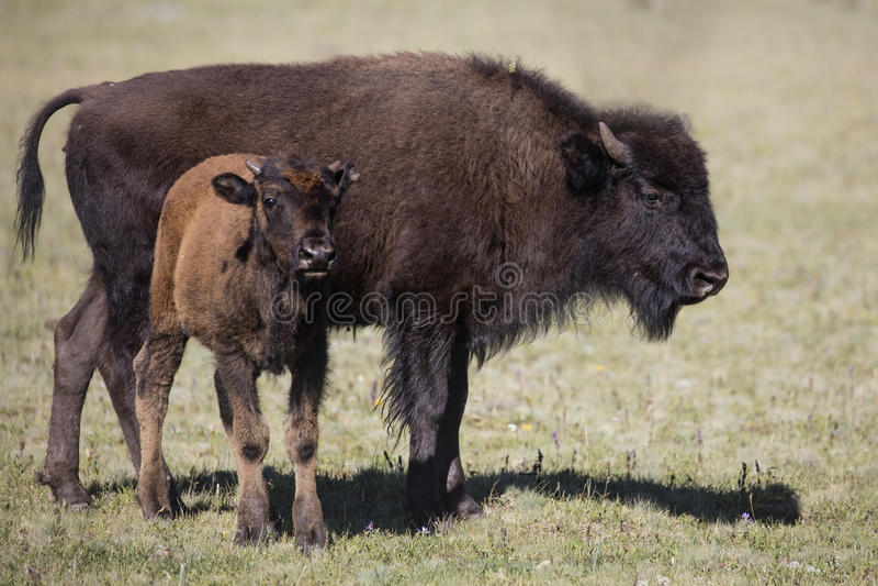Bison Grand Canyon National Park immagini stock libere da diritti