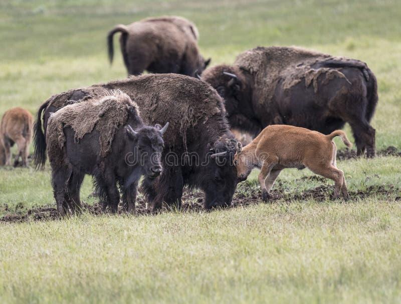 Bison Grand Tetons 2014 och 2015 arkivbild