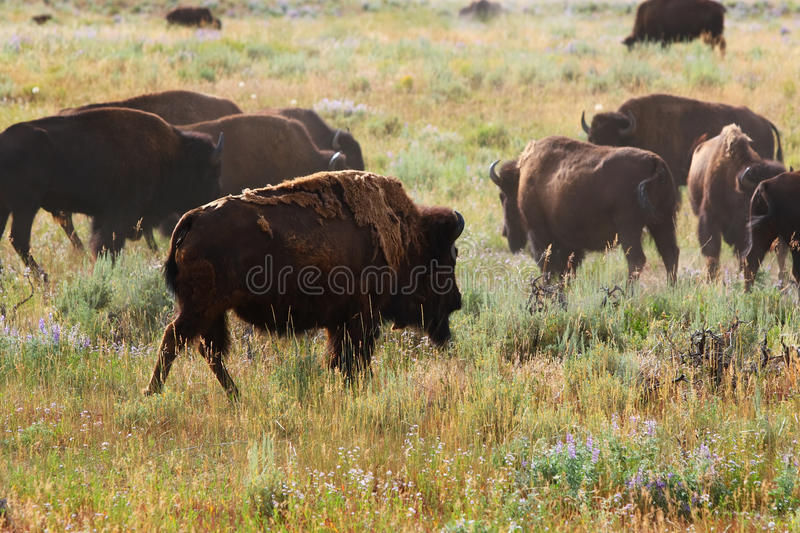 Bison in grasslands. Beautiful North American Bison or Buffalo spar in the grasslands royalty free stock photography