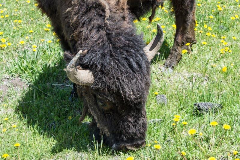 Bison Grazing From Above royaltyfri bild