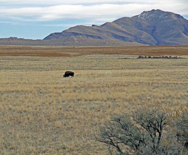 Bison Grazing en campo en el SP de la isla del antílope imágenes de archivo libres de regalías