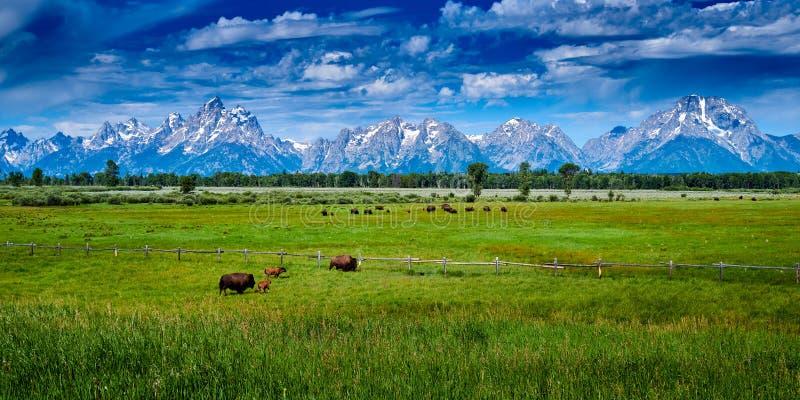 Bison grazing in Grand Teton National Park royalty-vrije stock afbeeldingen