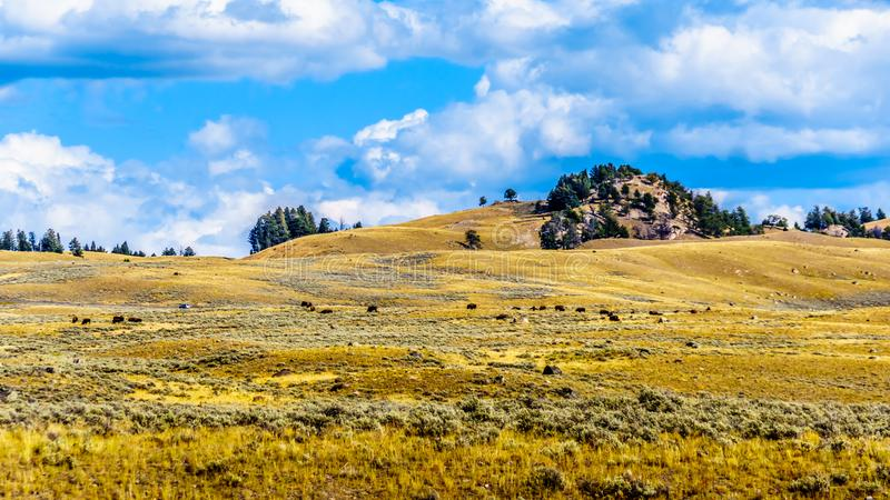 Bison grazing in the grasslands along the Grand Loop Road between Canyon Village and Tower Junction stock photos