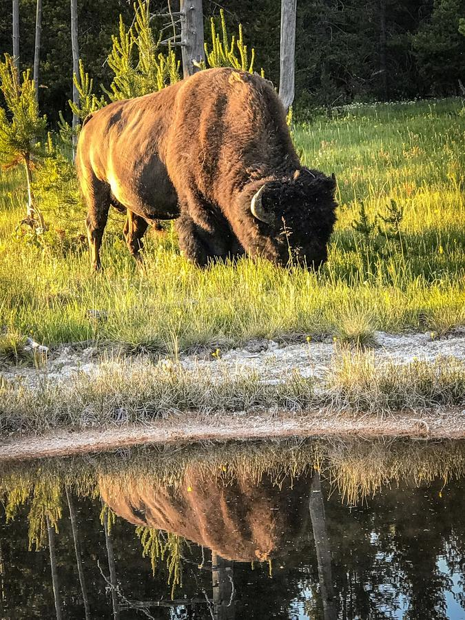 Bison grazing at Yellowstone National Park royalty free stock photos