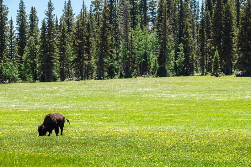 Bison in Green Field royalty free stock image