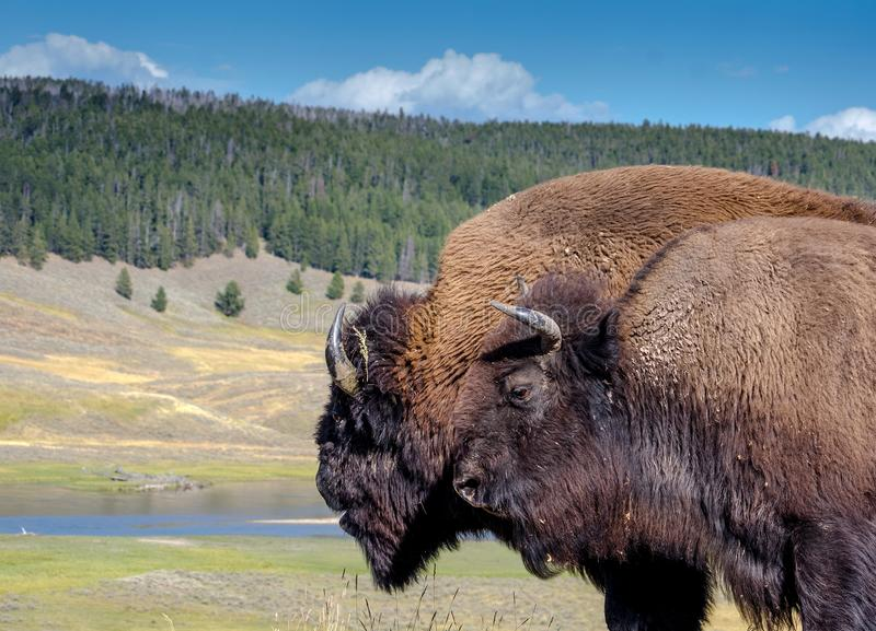 Bison grincheux dans Yellowstone image stock