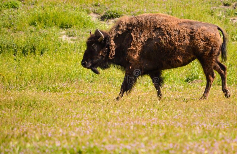 Bison grisonnant images stock