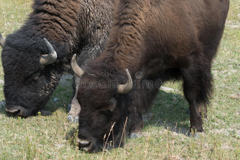 Bison in Hayden Valley in Yellowstone National Park royalty free stock photography