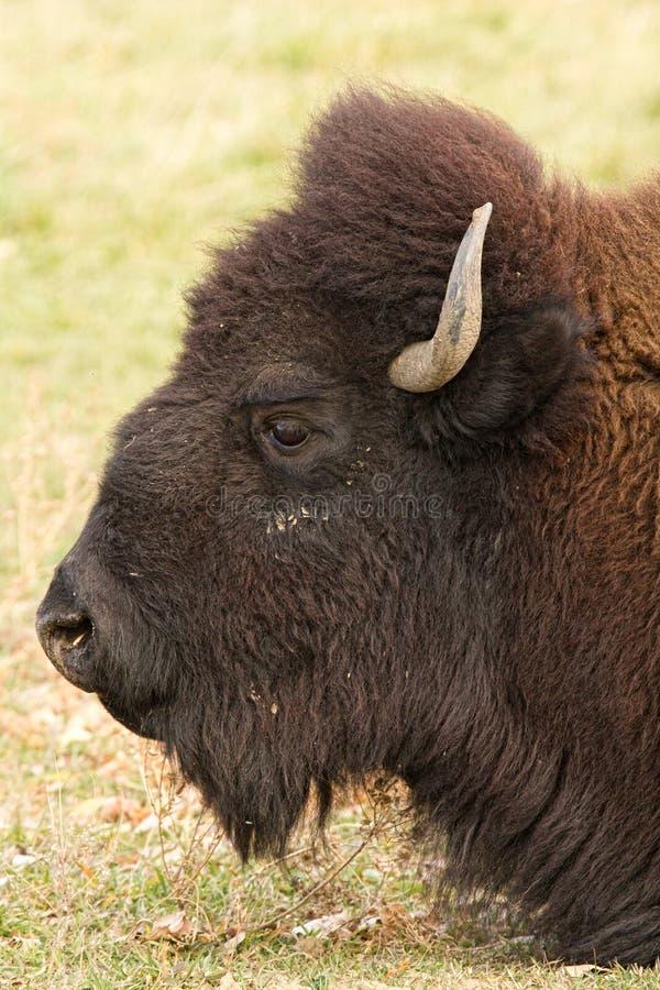 Bison Headshot Profile foto de stock