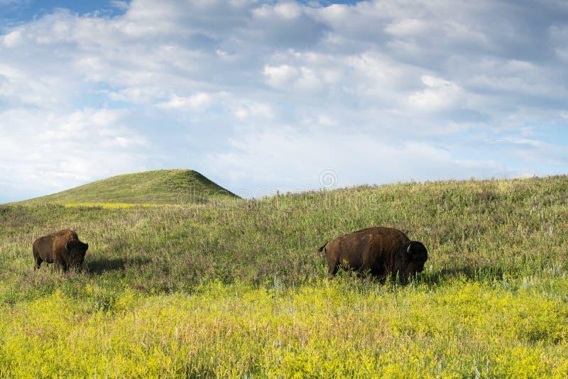 Bison Heard bij Zwarte Heuvels stock foto's