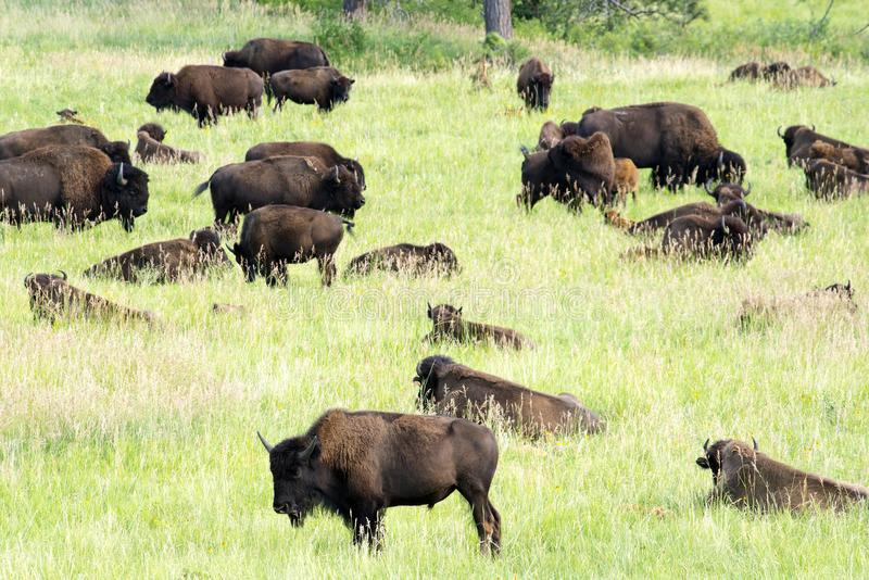 Bison Heard in Zwart Heuvels Zuid-Dakota stock foto
