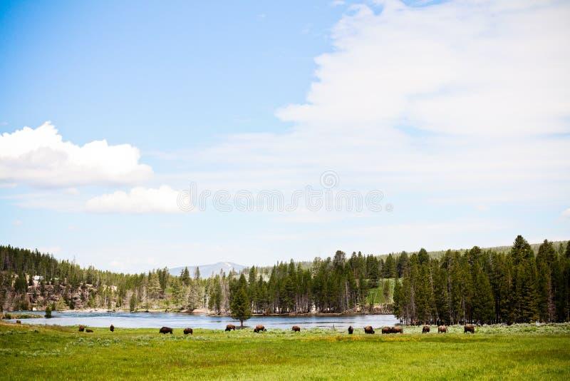 Bison Herd fotos de archivo