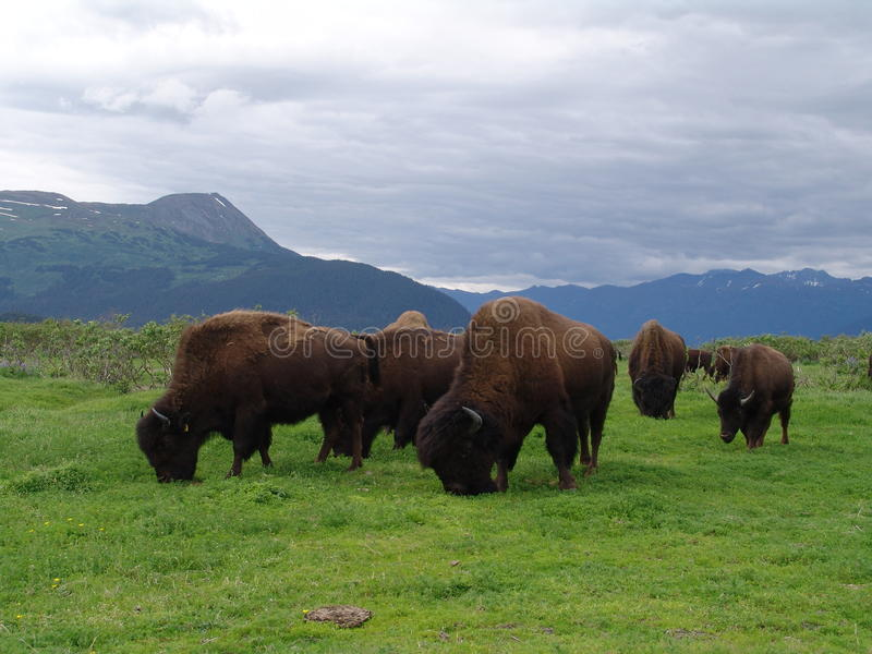 Bison herd stock image