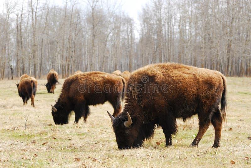 Bison herd stock photo