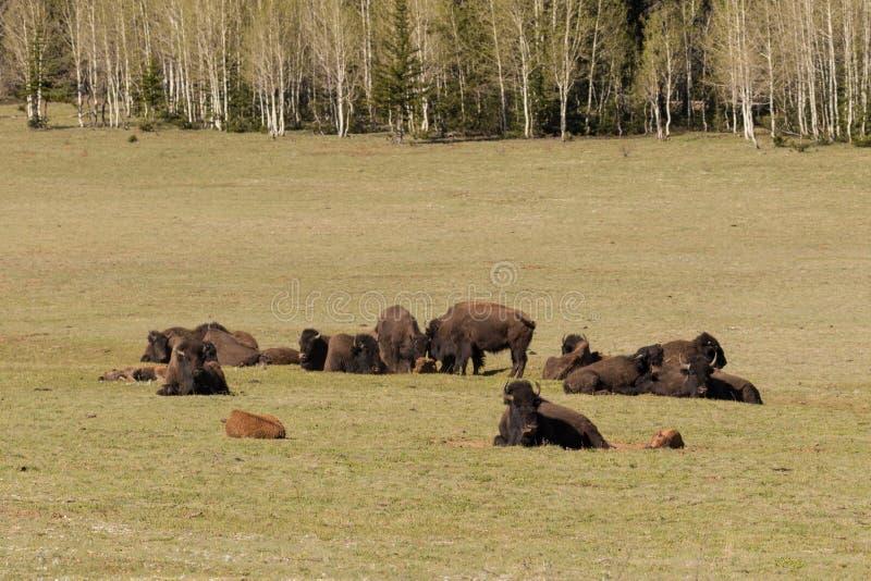 Bison Herd immagine stock