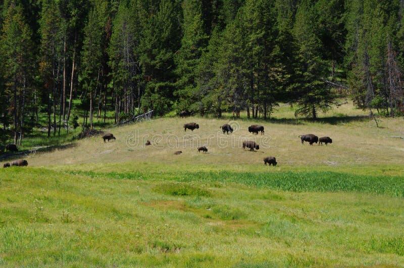 Bison Herd lizenzfreies stockfoto