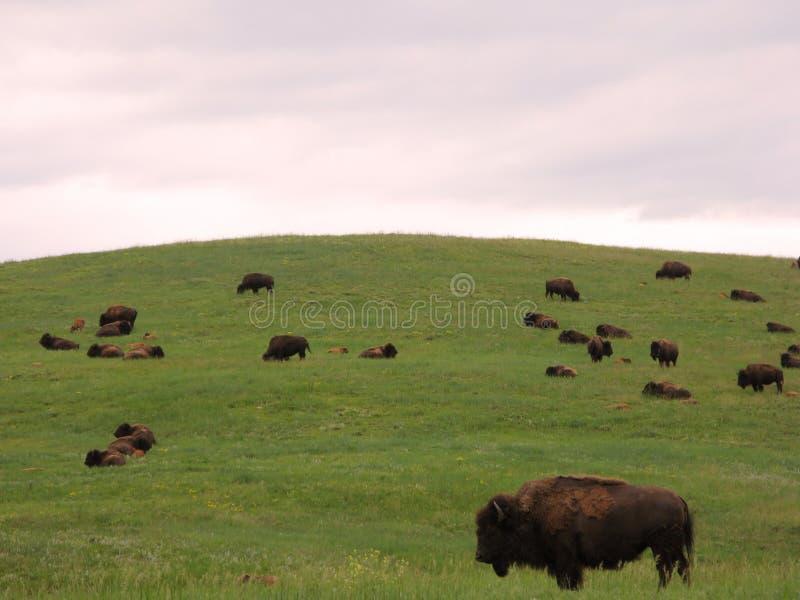 Bison Herd on the American Western Prairie royalty free stock photo