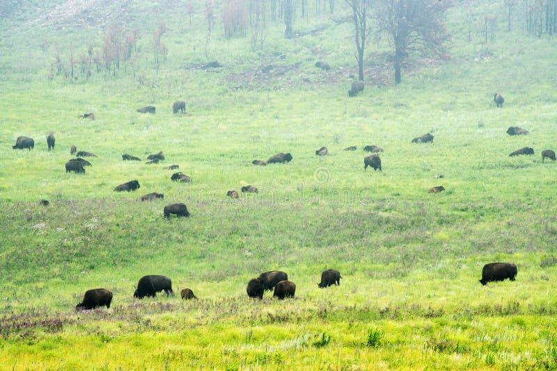 Bison Herd in de Zwarte Heuvels royalty-vrije stock foto's