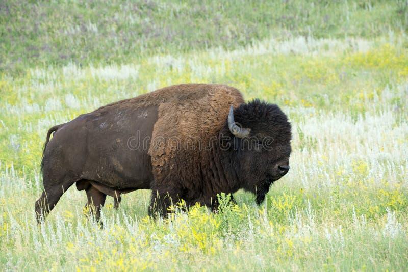 Bison Herd in de Zwarte Heuvels stock foto