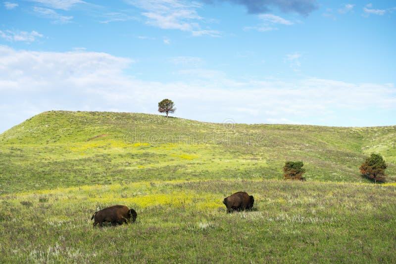 Bison Herd in de Zwarte Heuvels royalty-vrije stock foto