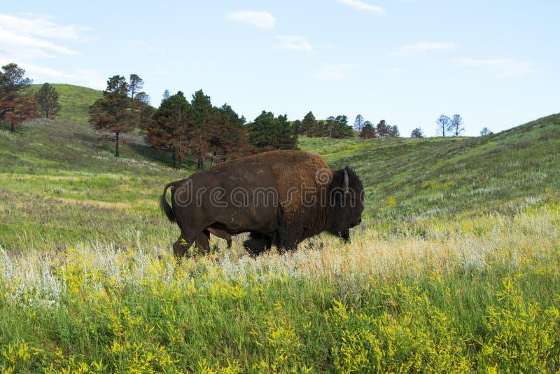 Bison Herd in de Zwarte Heuvels stock afbeelding