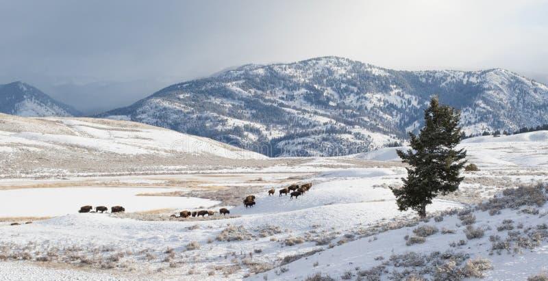 Bison herd migrate in winter stock images