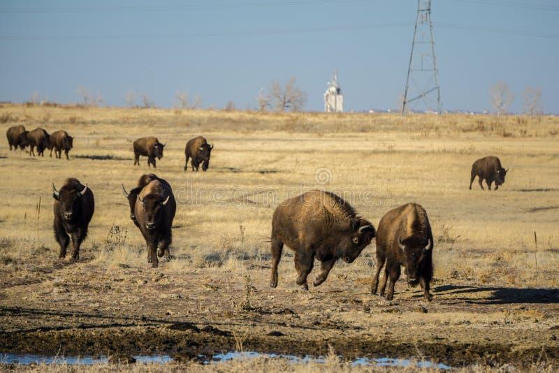 Bison Herd Running ad alimento fotografia stock libera da diritti