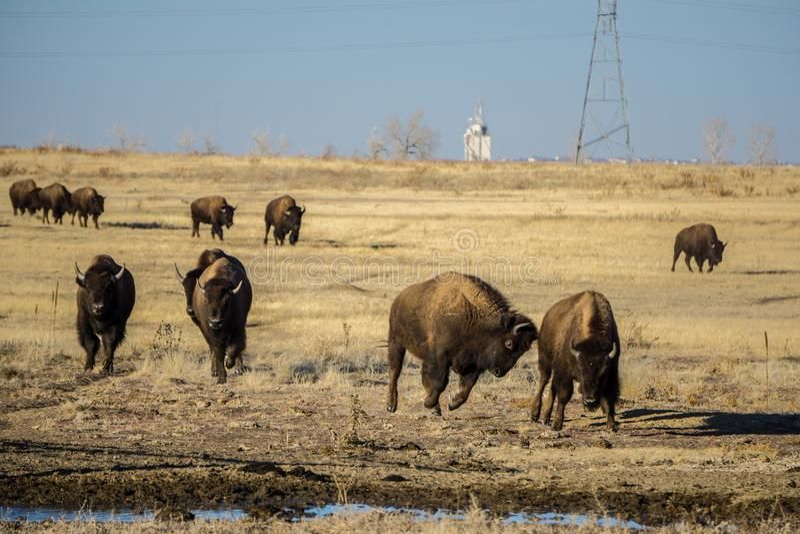 Bison Herd Running ao alimento foto de stock royalty free