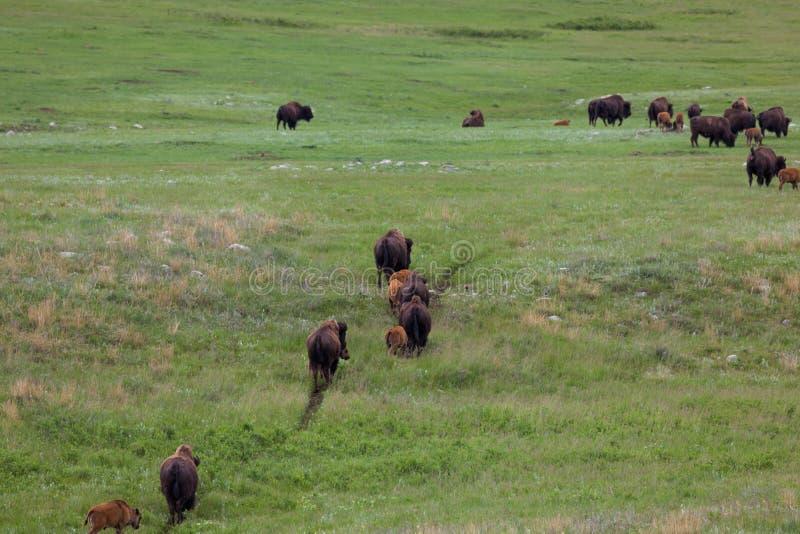 Bison Herd sur une traînée photographie stock libre de droits