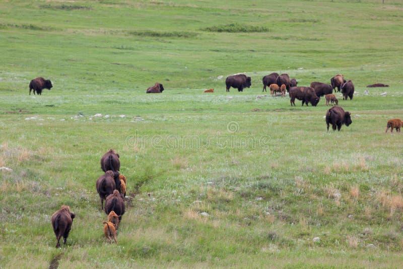 Bison Herd sur une traînée photo stock