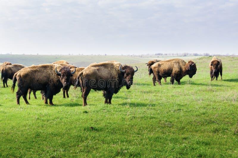 bison Herde des Bisons, morgens lassend in der Steppe weiden stockfoto