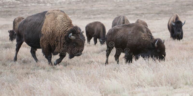 Bison Herding (Βόρεια Αμερική) στοκ φωτογραφίες με δικαίωμα ελεύθερης χρήσης