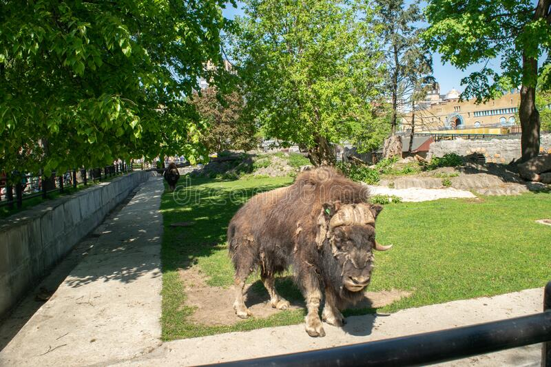 Bison on a hot summer day for a walk. In the aviary of the zoo stock photos
