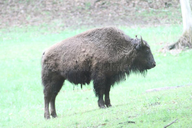 Bison 2019 I. Highland Productions LLC  Darren Dwayne Frazier  Large mammal that has been in America for centuries. The Bison was hunted to a few thousand before royalty free stock image