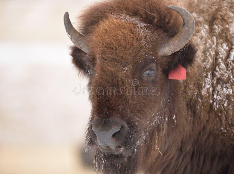 Bison i tidig vår arkivfoto