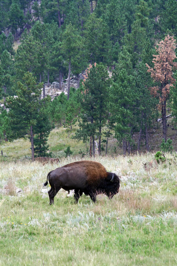 Bison im Custer Nationalpark, South Dakota stockfotos