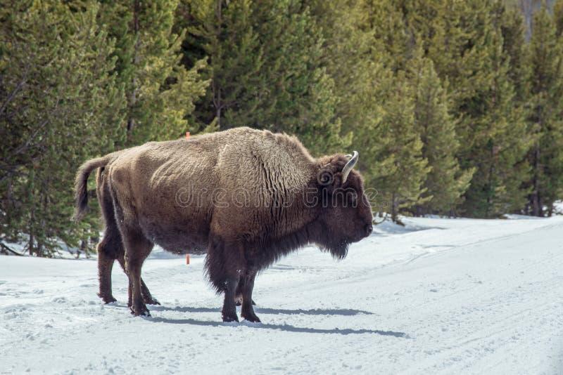 Bison im Nationalpark in der Wintersaison lizenzfreie stockfotografie