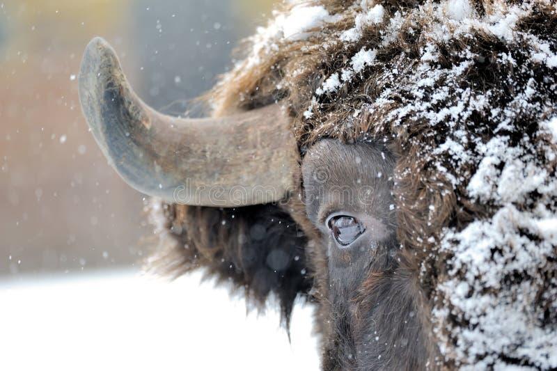 Bison im Winter stockfotos