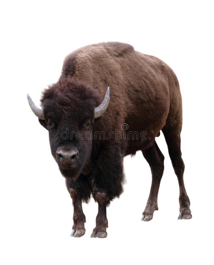 Bison isolated on white background royalty free stock photos