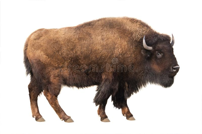 Bison isolated on white stock photography