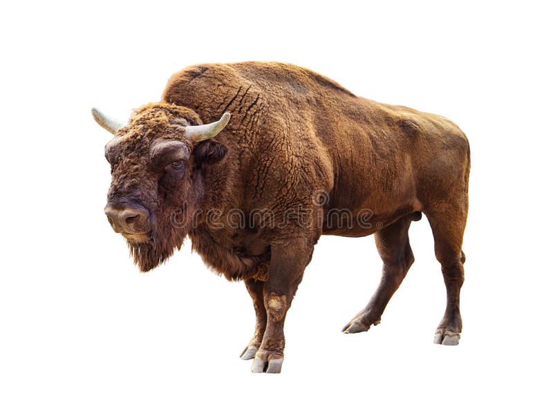 Bison isolated on white stock photos