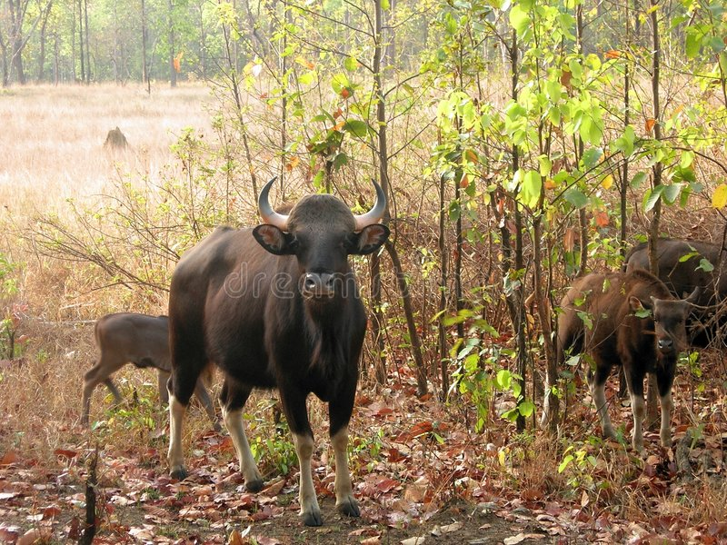 Download Bison from kanha stock photo. Image of scenery, greenary - 2517860