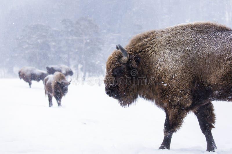 Bison lub Aurochs w sezonie zimowym w tamtym siedlisku Piękny śnieg obrazy royalty free