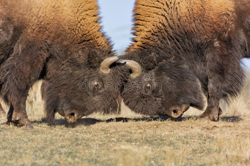Bison males fighting. A close up of two bison males fighting with their horns stock photos