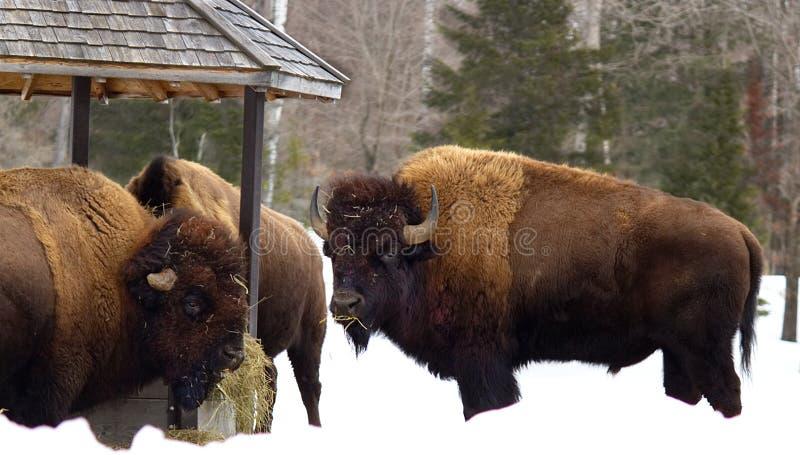 Bison mangeant à la station de nourriture photographie stock