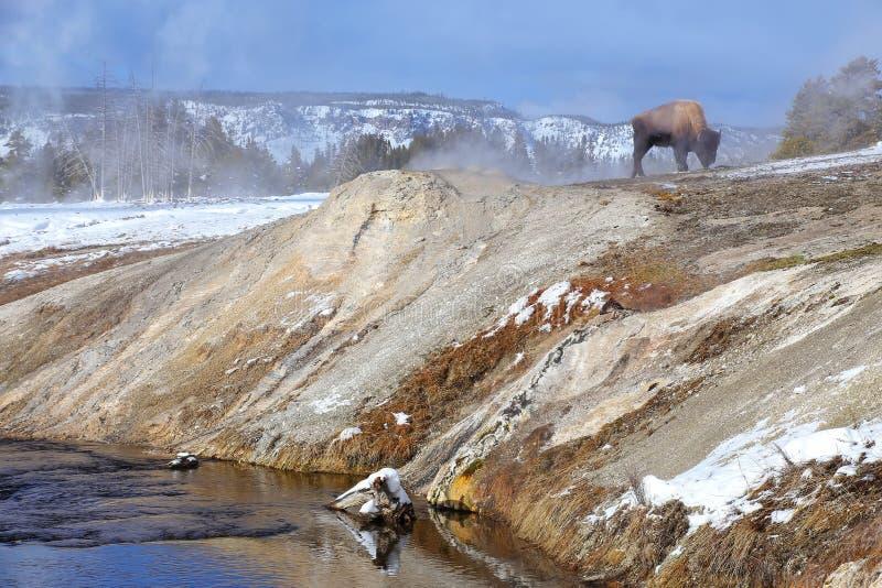 Bison masculin se tenant prêt la rivière de Firehole en bassin supérieur de geyser, parc national de Yellowstone, Wyoming photographie stock